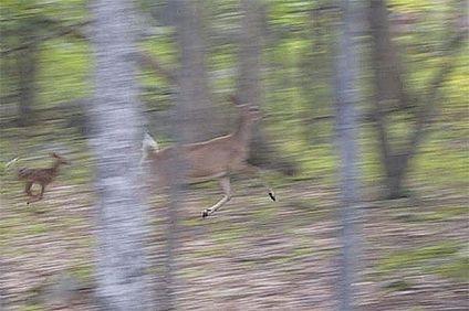 Фотография бегущей оленихи и ее детеныша: была снята со штатива и сам штатив поворачивали за объектом во время съемки, чтобы добавить в полученное изображение ощущение движения