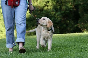 По мере достижения доверительных отношений между вами и щенком, начните тренироваться ходить с ним в произвольно-спонтанных направлениях, чтобы научить собаку уделять еще более пристальное внимание вам всегда и везде, когда она на поводке