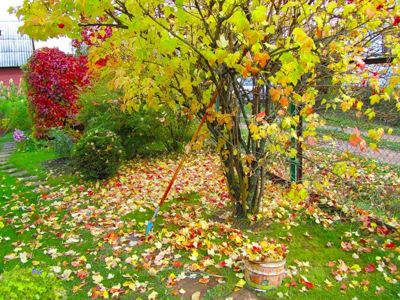 золотая осень на даче: яркие краски листьев, сбор листвы