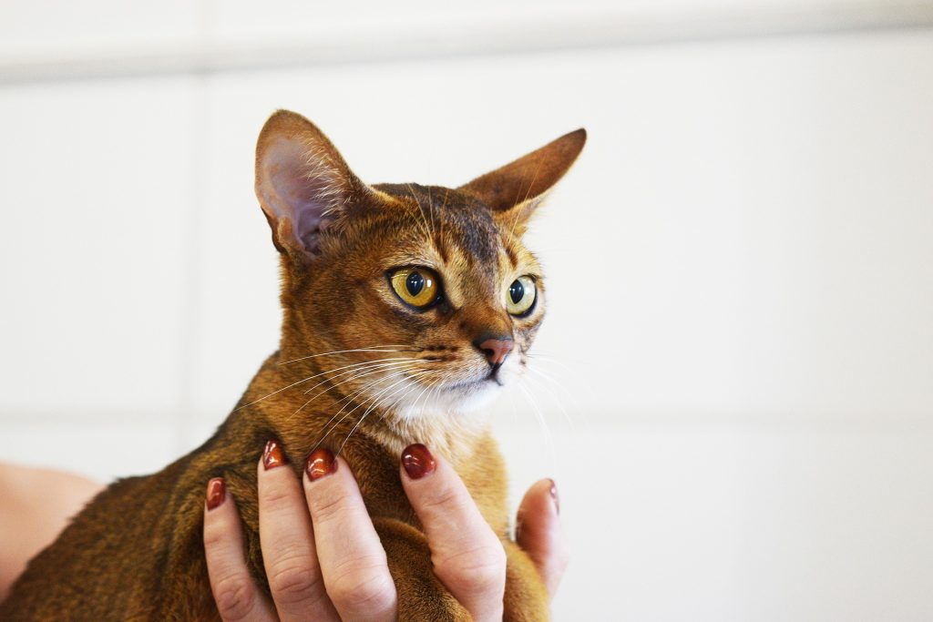 Как подготовить кота к участию в выставке
