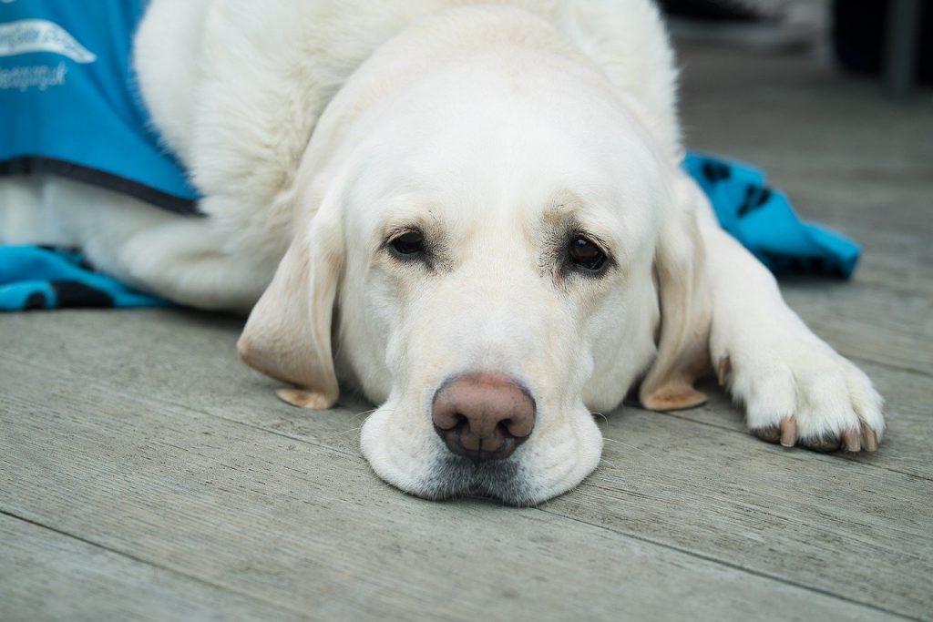 Как лечить сердечную недостаточность у собак