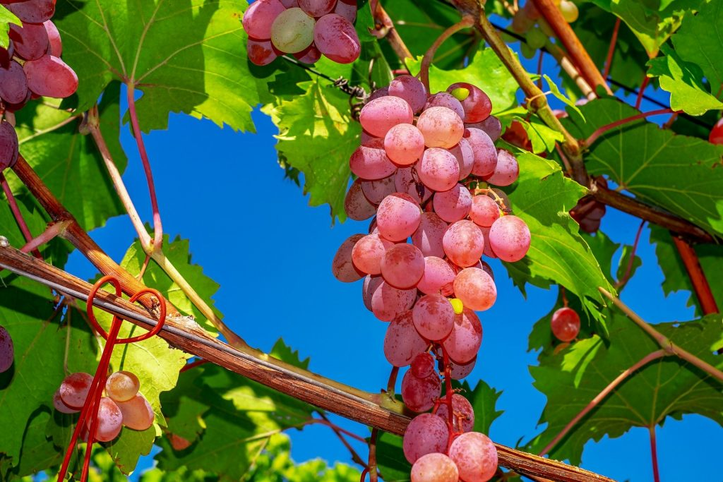 Как выбрать сладкий и спелый виноград. 8 лучших сортов для еды